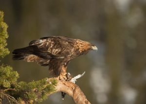Golden Eagle ©Giedriius shutterstock_169588403